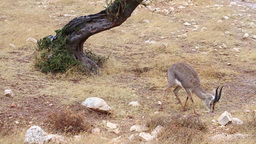 Israeli mountain gazelle feeding in the rain Footage