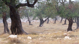 Olive trees in the rain Footage