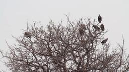 Vultures on tree Footage