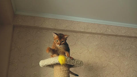Abyssinian cat playing Footage