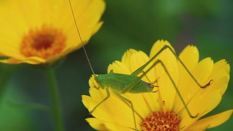 Green grasshopper on Calendula flower Footage