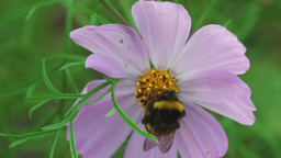Bumblebee on cosmos flower Footage