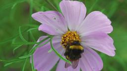 Bumblebee on cosmos flower Footage