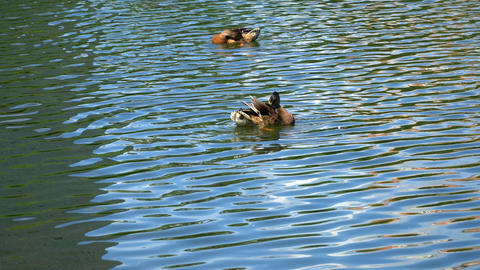 Two ducks swim in the pond. Ducks preen their feathers Footage