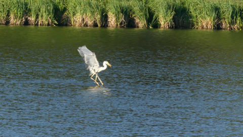 The heron with fish in the beak flying over lake Footage