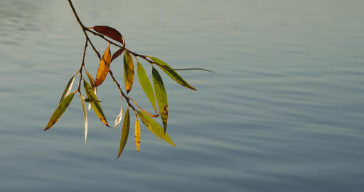 Tree branch with colorful autumn leaves over quiet lake water Footage