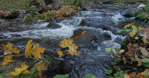 Clear Water Creek Streaming Through Autumn Forest With Yellow Leaves Footage