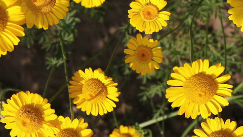 Yellow Daisy flowers in the garden Footage