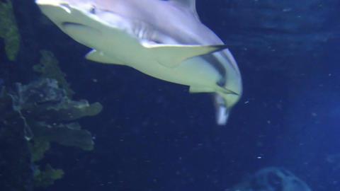 Underwater shot of approaching Grey Reef Shark, coral reef environment Bild