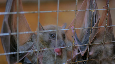fruit bats hanging in cage in zoo Footage
