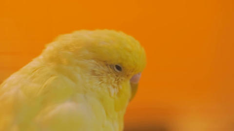 Yellow parrots swing on the seesaw Footage