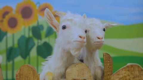 Woman feeding white goats Footage