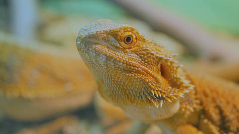 Yellow barded dragon lizard at zoo Footage