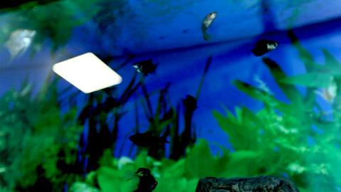 Fish float in an aquarium. Fish and green algae in the aquarium Footage