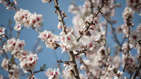 Flowering apricot tree against the blue sky Footage