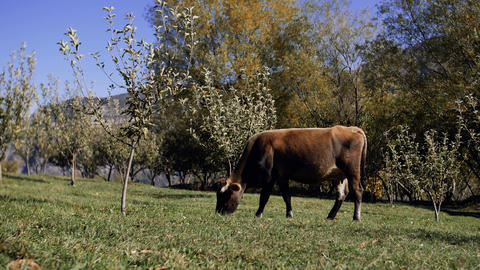 dairy cow eating fresh green grass Footage