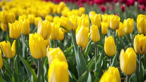 Lovely yellow tulips swaying in the wind Footage