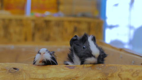 Curious guinea pigs looking around Footage