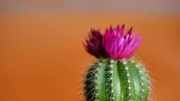 Green cactus with sharp needles and pink purple flower Footage