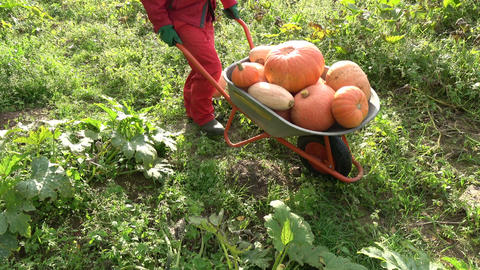 Gardener in red harvesting pumpkins with new wheelbarrow in autumn garden Live Action