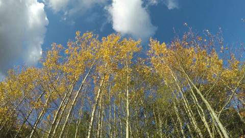 beautiful autumn aspen trees and clouds motion on blue sky, time lapse Footage