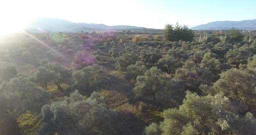 Olive Trees Aerial Footage before Sunset ビデオ