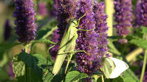 Green grasshopper and cabbage butterfly on blossoming medical herb anise hyssop Footage