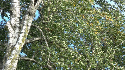 birch trunk and branches with leaves in wind background Footage