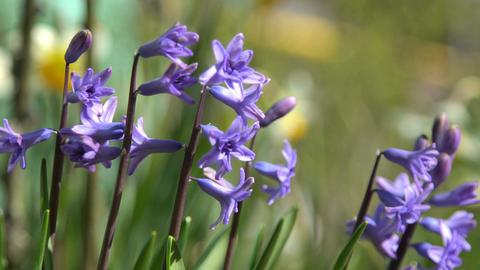 Hyacinth flowers sway in the wind Footage