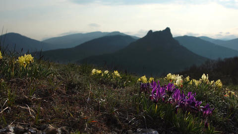 Wild flowers of Iris against the background of high mountains Footage