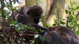 Monkeys on a tree Footage
