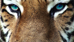 Tiger head with blue eyes, artificial colored, progressive Footage