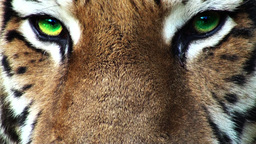 Tiger head with green eyes, artificial colored, progressive Footage