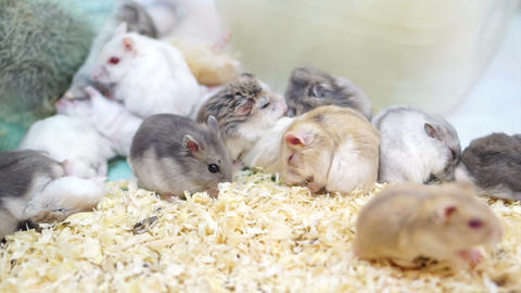 Video of Hamsters playing and eating together 영상물