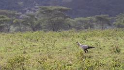 Impala feeding grass Footage