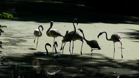 A flock of flamingos walk together on a swampy lake bank Footage