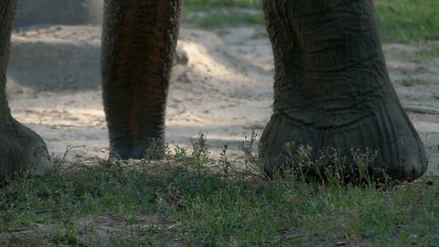 Huge elephant legs move on a lawn in a zoo Footage