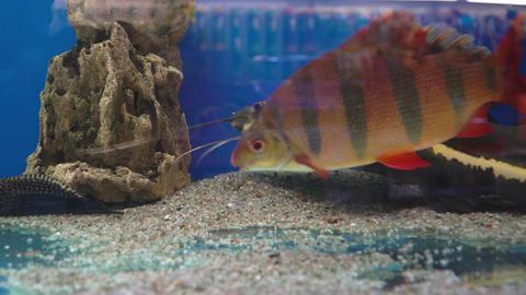 Large catfish and other fish swim in the aquarium Live Action