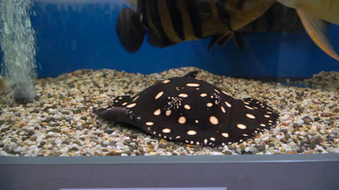 Spotted Stingray swims on the bottom of the aquarium Footage