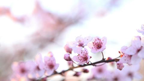 Sakura. Branches of cherry blossoms Footage