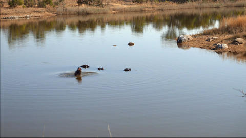 A Family Of Hippopotamus Hanging In the Water Footage