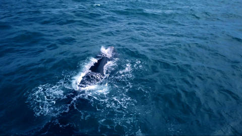 Aerial Over Head Shot of Southern Right Whale From Behind Footage