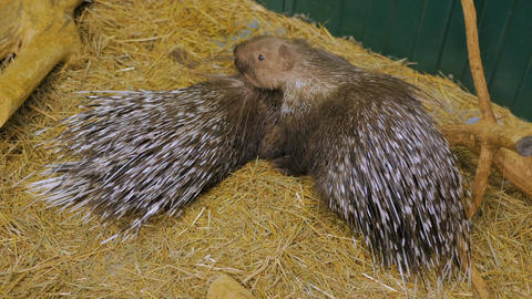 Family of porcupine lying at the zoo Image