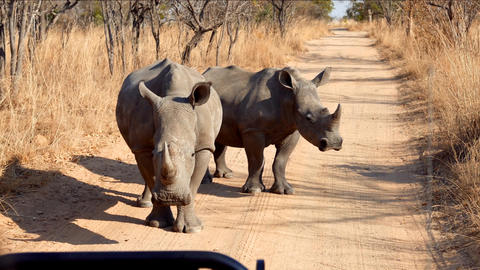 Pair Of Rhino Standing On The Middle Of Dirt Road Footage