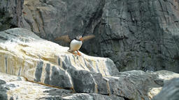 Colorful Puffin Bird On A Rock Footage
