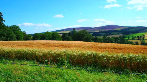 barley field, Scotland Footage