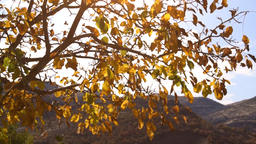 yellowing tree branches fall in the wind in the autumn 画像