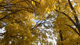 Autumn, October, November, trees with beautiful yellow maple leaves, Sunny day, Footage