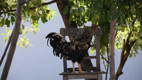 The cock is standing on the chair 画像