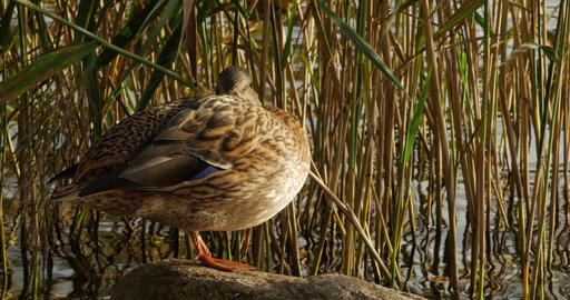 Duck standing on a stone 画像